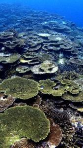 黒島たくさんのサンゴ